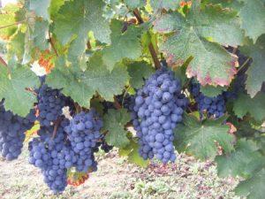 Vignes Beauséjour - Vue 1