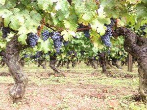 Vinification - Vignes