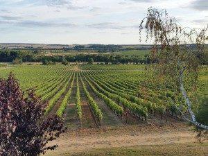 Vin de Chinon - Les vignes vue 1